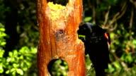 Red-winged Blackbird at Feeder video