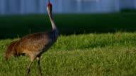 Red-Winged Blackbird attacks Sandhill Crane, CLOSE video