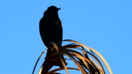 Red-winged Blackbird calling out atop a dead palm video