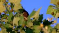 Red-Winged Blackbird (Female) in tree top blowing in wind video