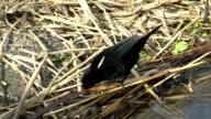 Red-winged Blackbird video