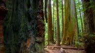 Redwood Forest video