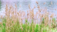 Reed grass fluttering on the wind in front of water surface video