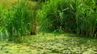 Reed on the marshy pond. HD. video