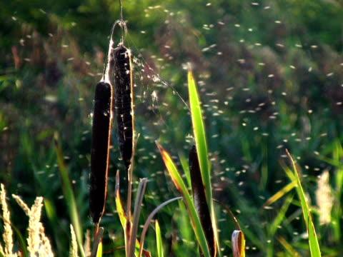 PAL: Reed video