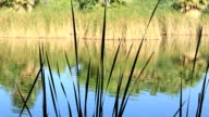 Reeds by Pond video