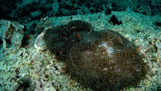Reef and Marine life in Chumphon dive site, Thailand video