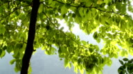 HD: Reflection Of Sunlight On Tree Leaves video