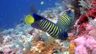 Regal Angelfish at a tropical coral reef 2 video