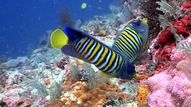Regal Angelfish at a tropical coral reef 2 video