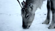 Reindeer grazing video