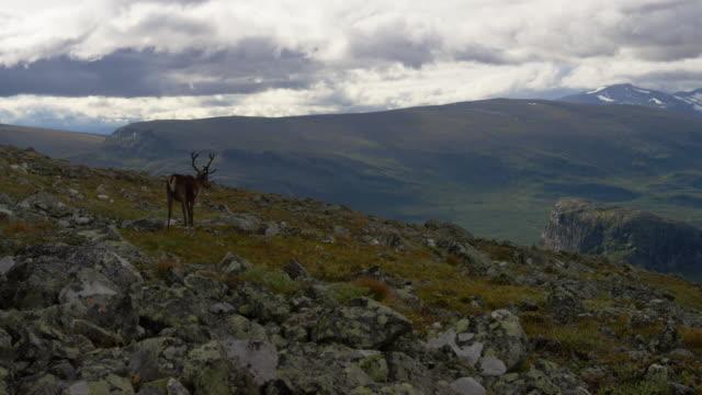Reindeer on mount Skierffe in Rapadalen, Sarek. video