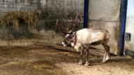 Reindeer standing inside the barn video