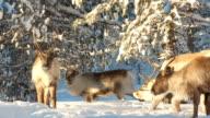 reindeer video