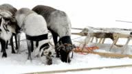 Reindeers eat snow video