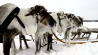 Reindeers on the national holiday on Yamal video