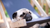 A relaxed dog on a beach chair video