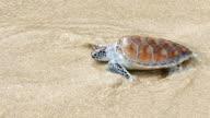 Release the hawksbill sea turtle back to the sea video