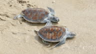 Release two hawksbill sea turtle back to the sea video