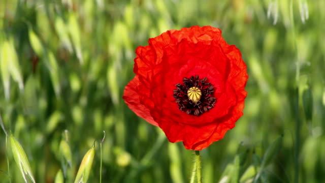 Remebrance Day Poppy video