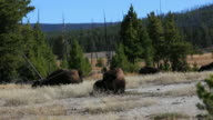Resting Buffalo - Yellowstone National Park video