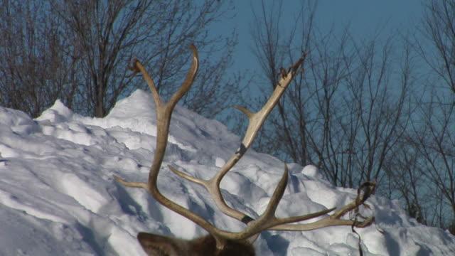 resting caribou video