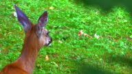 Resting Deer Doe in Field, Springtime Green Tree Leafs in Foreground video