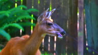 Resting Deer Doe, Whitetail Mammal in Green Meadow video