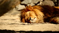 Resting lion video