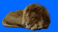 Resting Lion with Blue Background video