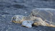 Resting Sea Turtles (Big Island) video
