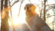 Restless golden retriever dog breathing video