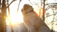 Restless golden retriever dog sitting and waiting video