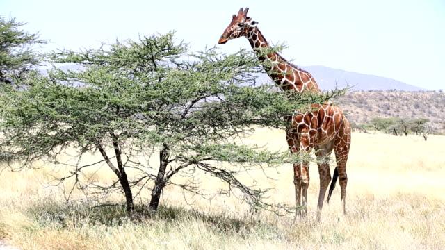 Reticulated Giraffe Grazing at Acacia video
