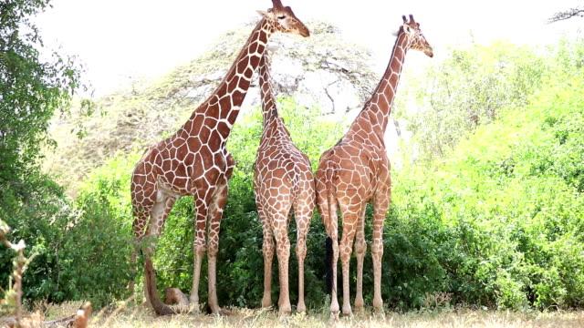 Reticulated Giraffe video