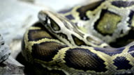 Reticulated python close up video