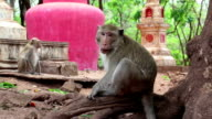 Rhesus macaque sits on roots of tree video