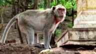 Rhesus macaque video