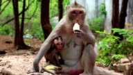 Rhesus macaque with a cub sits on the ground and eats banana video
