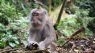 Rhesus Monkeys in the Wild in Ubud, Bali, Indonesia video