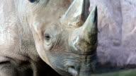 Rhino head video