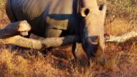 Rhino scratching itself on a log 2 video