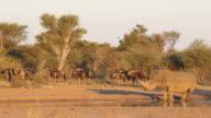 Rhinoceros and wildebeest video