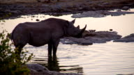 SLO MO Rhinoceros Drinking Water video