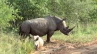 Rhinos in Kruger Wildlife Reserve video