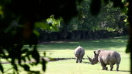 Rhinos on the green field video