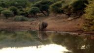 Rhinos walking to the water video