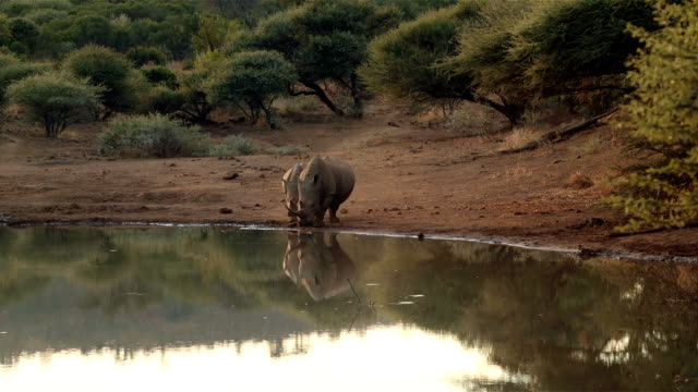 Rhinos walking to the water video