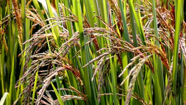 Rice berry Field video