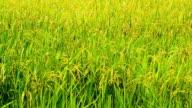 Rice blossom field video
